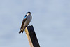 Tree Swallow at John Heinz National Wildlife Refuge at Tinicum