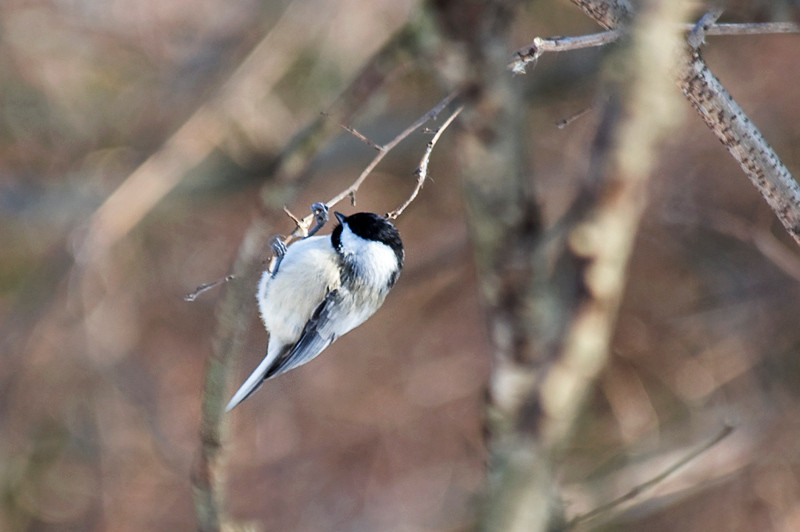 Carolina Chickadee at John Heinz National Wildlife Refuge at Tinicum