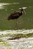 Glossy Ibis (non-breeding) at John Heinz National Wildlife Refuge at Tinicum