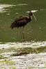Glossy Ibis (non-breeding) at John Heinz National Wildlife Refuge at Tinicum