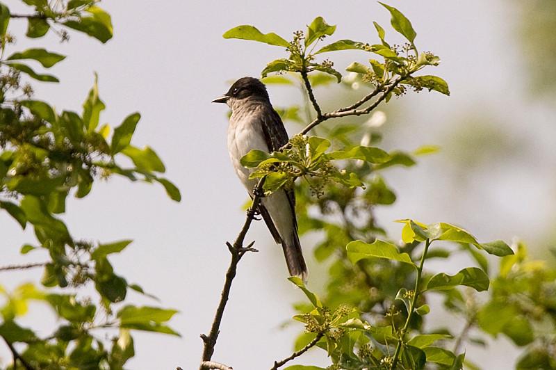 Eastern Kingbird at John Heinz National Wildlife Refuge at Tinicum