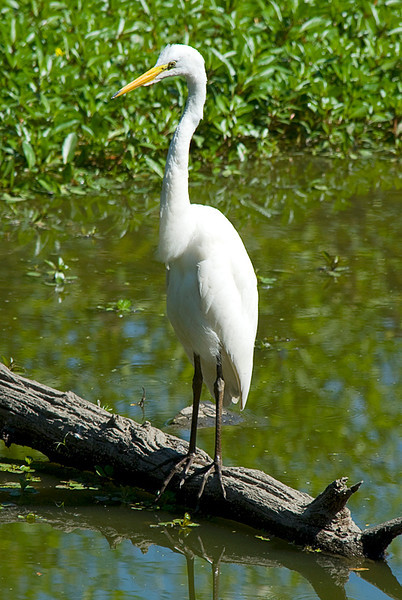 Great Egret at the John Heinz National Wildlife Refuge at Tinicum