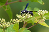 Potter Wasp (Monobia quadridens) at John Heinz National Wildlife Refuge at Tinicum