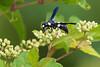 Potter Wasp (Monobia quadridens) at John Heinz National Wildlife Refuge at Tinicum
