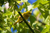 Yellow Warbler having caught insects in its beak for its young at John Heinz National Wildlife Refuge at Tinicum