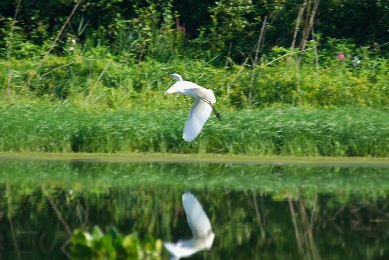John Heinz National Wildlife Refuge at Tinicum - Great White Egret