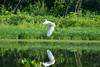 John Heinz National Wildlife Refuge at Tinicum - Great White Egret