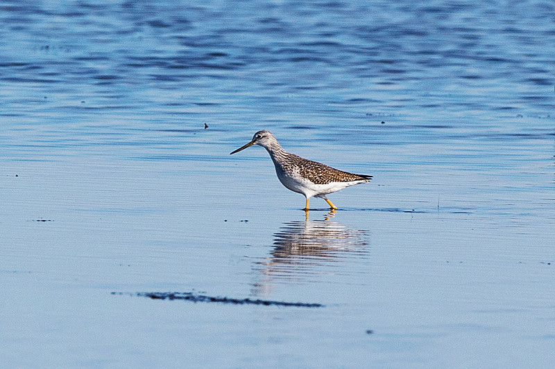Greater yellowlegs at the Prime Hook National Wildlife Refuge
