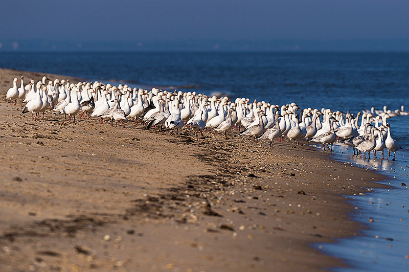 White morph adult and juvenile snow geese at Prime Hook National Wildlife Refuge. About 50,000 pairs of adults plus juveniles located off the beach and about 100 pairs of adults on the beach in Delaware Bay at the Prime Hook Beach Community at the edge of the Prime Hook National Wildlife Refuge.