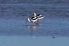 Adult American Avocets in winter plumage at the Prime Hook National Wildlife Refuge