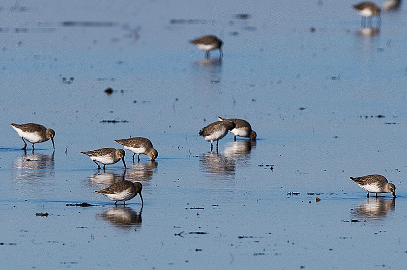 Semipalmated sandpiper at the Prime Hook National Wildlife Refuge
