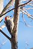 Adult female red-bellied woodpecker at the Prime Hook National Wildlife Refuge