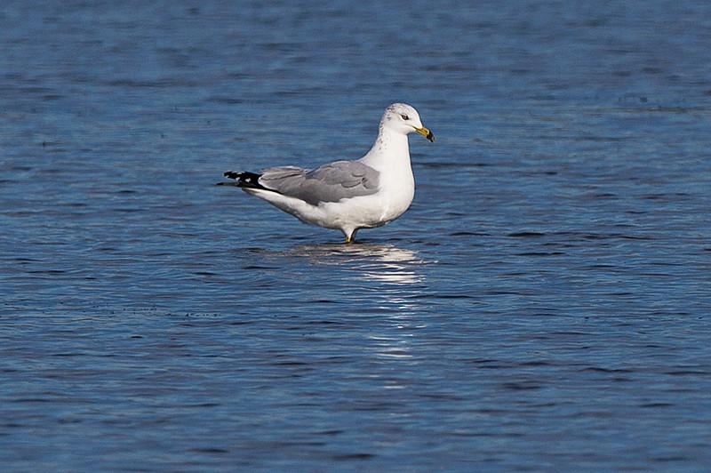 Ring billed gull, adult non-breeding at the Prime Hook National Wildlife Refuge