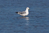 Ring billed gull, adult non-breeding at the Prime Hook National Wildlife Refuge