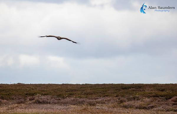 Bearded Vulture (Lammergeier) - Gypaetus barbatus