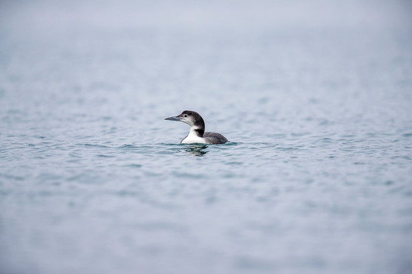 Great Northern Diver - Loch Scridain - Isle of Mull