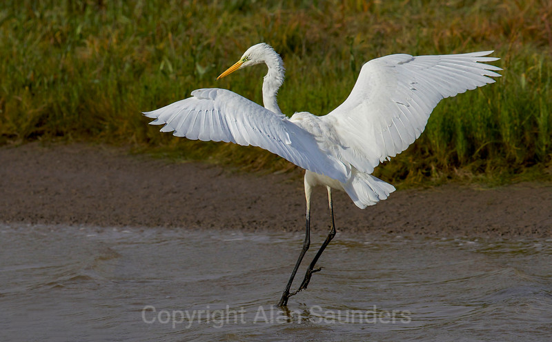 Great White Egret - Dee Estuary - North Wales