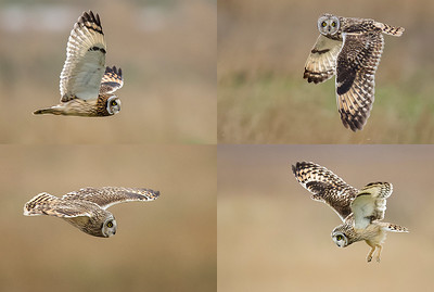 Mosaic of Short Eared owls taken at Parkgate on the Dee Estuary
