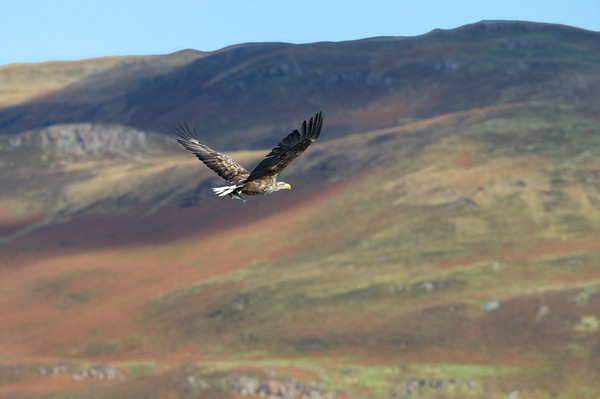 White Tailed Sea Eagle - Isle of Mull