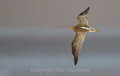 Curlew 001
