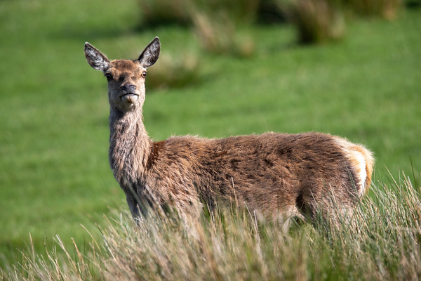 Red Deer - Ardnamurchan