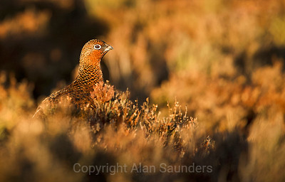 Red Grouse 04