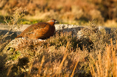 Red Grouse 01