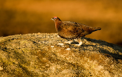 Red Grouse 08