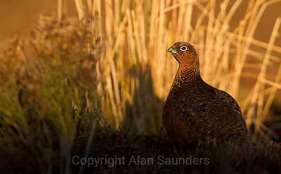 Red Grouse 05