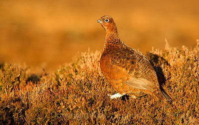 Red Grouse 06