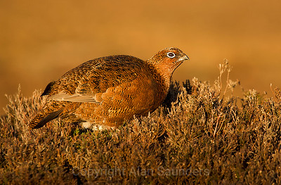 Red Grouse 07