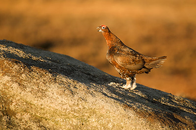 Red Grouse 02