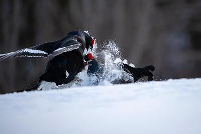 Two Black Grouse (Tetrao tetrix) Two Black Grouse (Tetrao tetrix) lekking in Finland