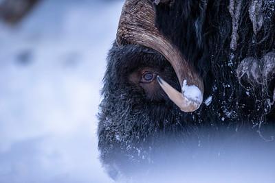 Muskox 'Face the Wild'