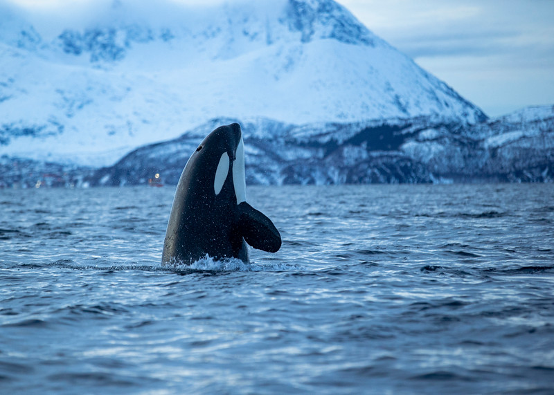 Orca in winter fjord