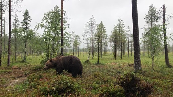 Bears in Forest | B-roll stock footage