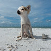 The King of Dog Beach in Dunedin Florida... Capone