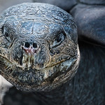Galapagos Tortoise ( weighing up to 900 pounds). One of the longest living vertebrates.