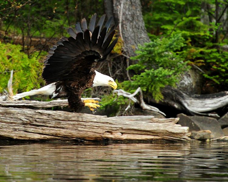 eagle BWC_0582