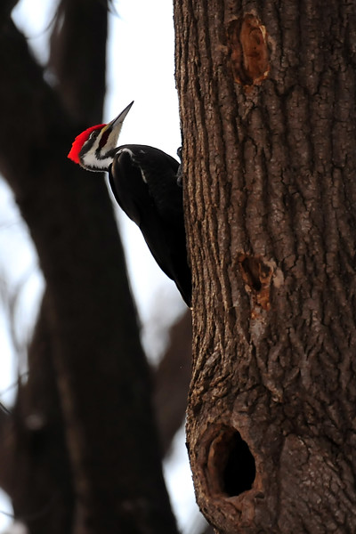 Woodpecker SQC_3092