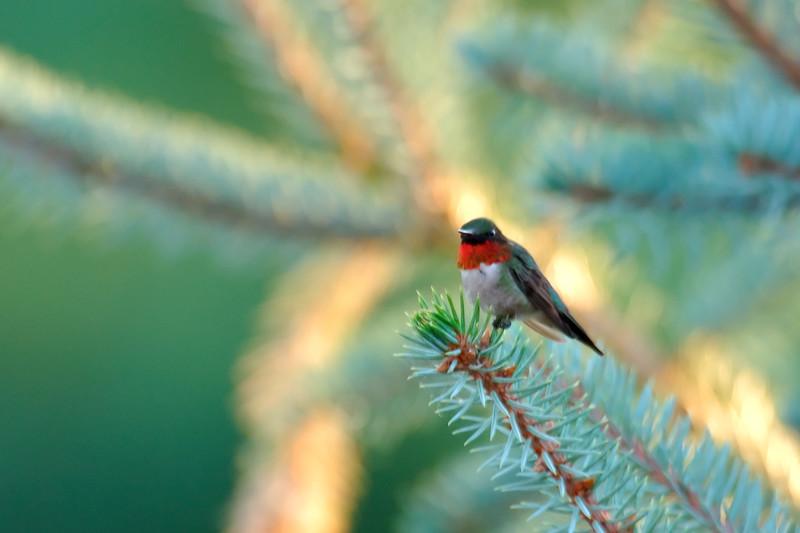 Hummingbird POR_8840