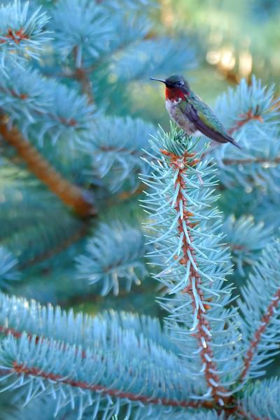Hummingbird POR_8798