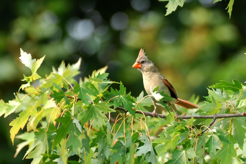 Cardinal MIG_9914