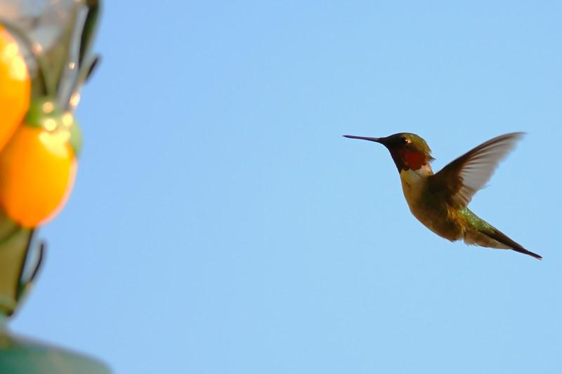 Hummingbird POR_8813