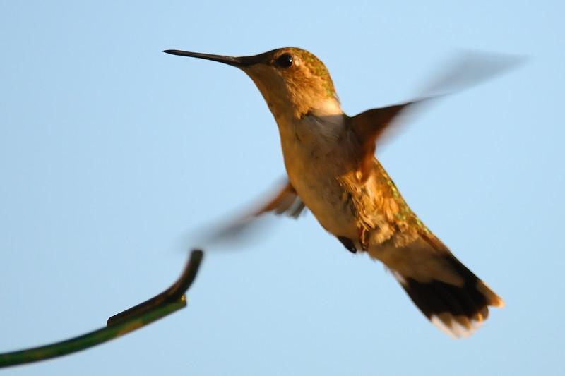 Hummingbird POR_8821