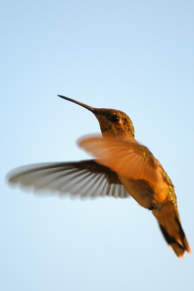 Hummingbird POR_8846