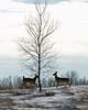 deer 2 winter_2006