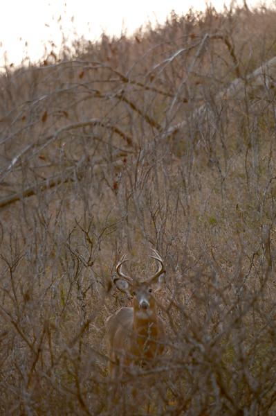 Whitetail Buck JEN_3551
