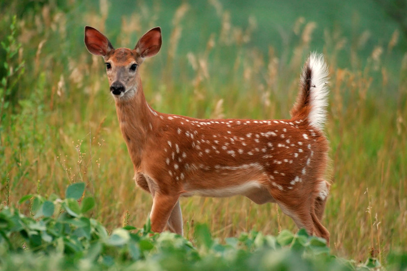 fawn WED_7762