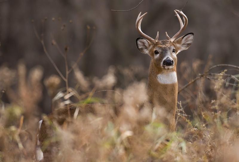 Whitetail Buck JEN_3273